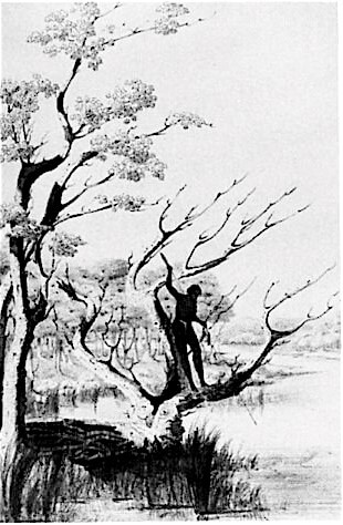 Sketch by Richard Ffarington of a Nyungar man fishing from a tree by river in the southwest
