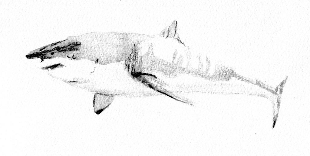 White shark (watercolour on paper) by Emily ten Raa 2016
