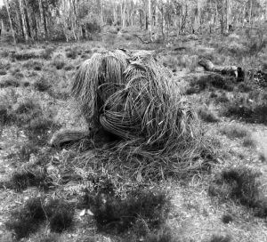 Grass tree - Paaluk