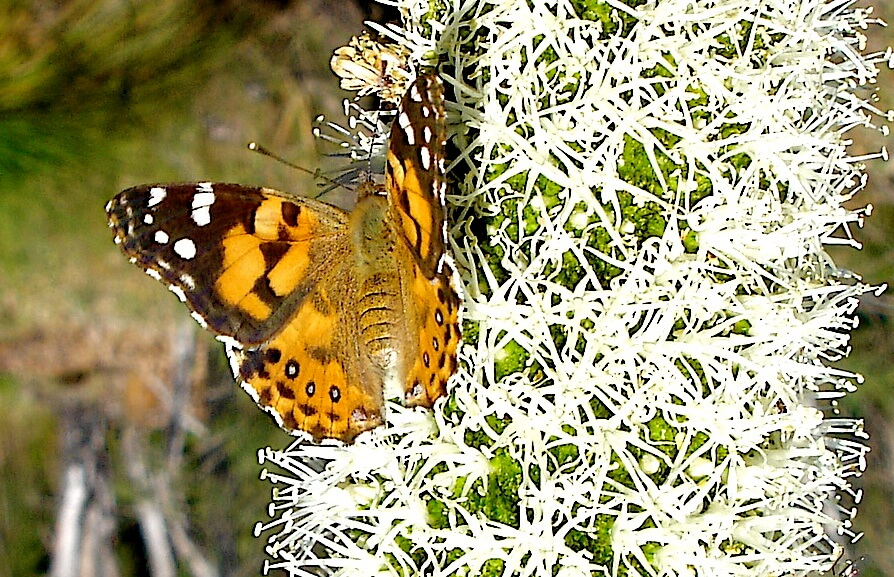 Butterfly attracted to the nectareous gum exuded by the balga (Xanthorhhoea) blossom