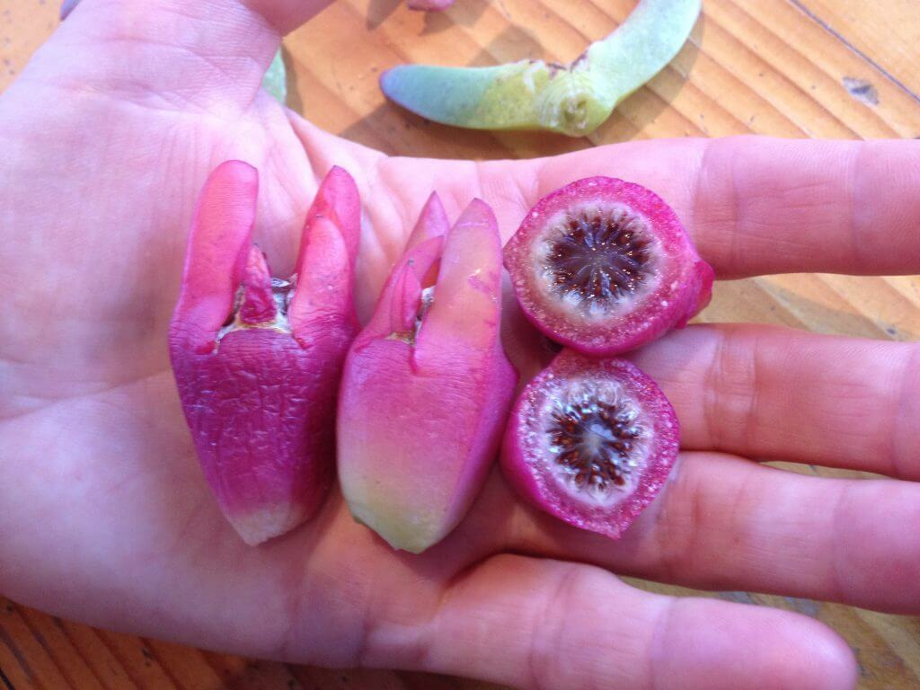 Carpobrotus fruit (kolbogo)