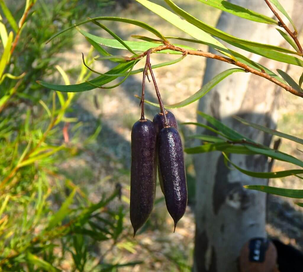 indigenous fruit - kuruba (Billardiera sp.)