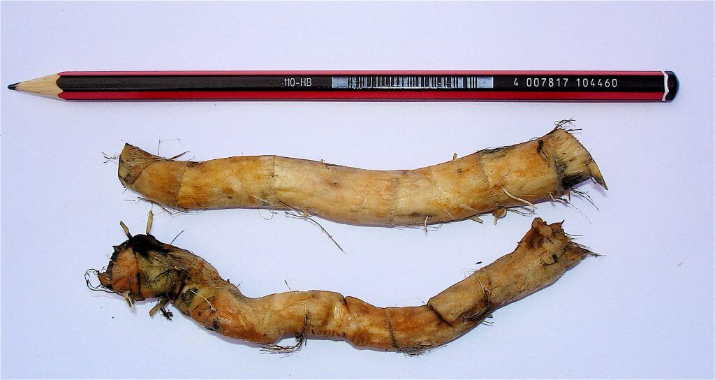 Typha domingensis rhizomes jpg