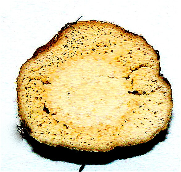 Cross-section of Typha rhizome showing starch content