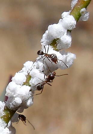 lerps (womela) being farmed by ants
