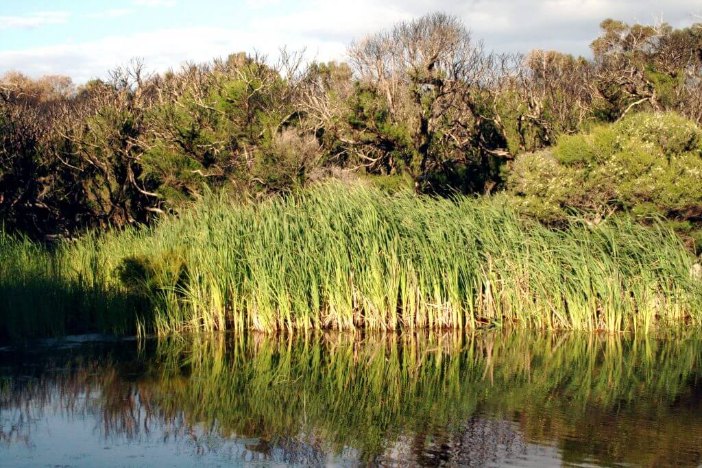 typha swamp 5