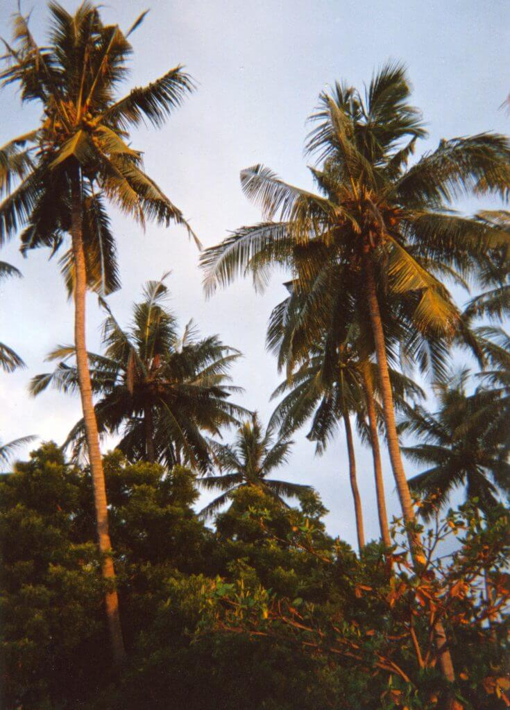 coconut palms in garden West Lombok 1995