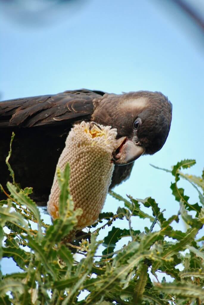 black cockatoo on Banksia 2