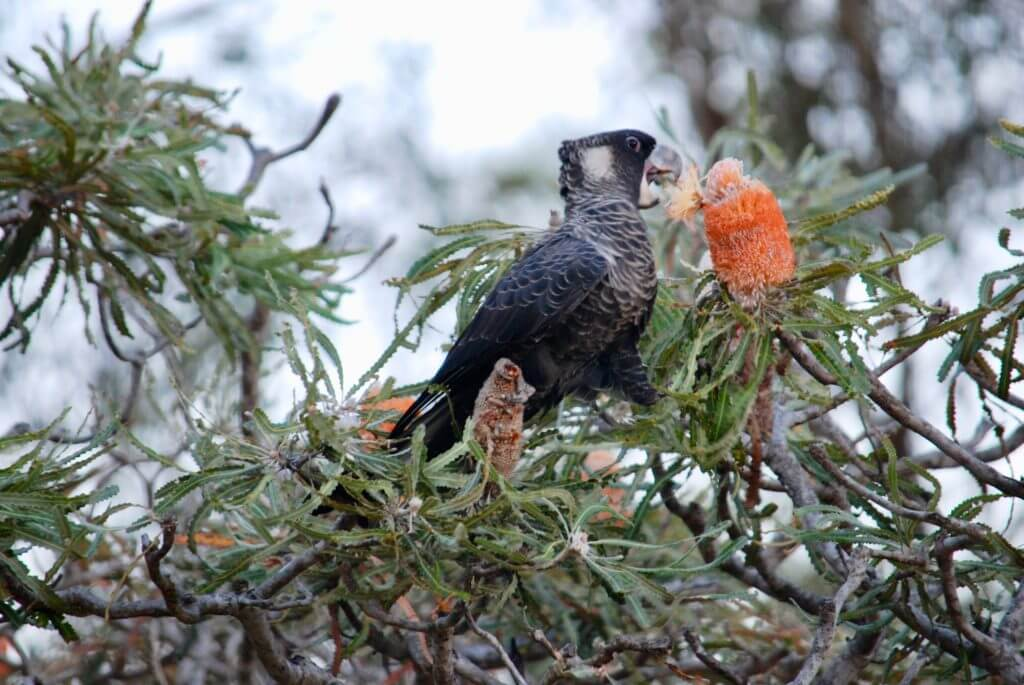 black cockatoo on acorn Banksia