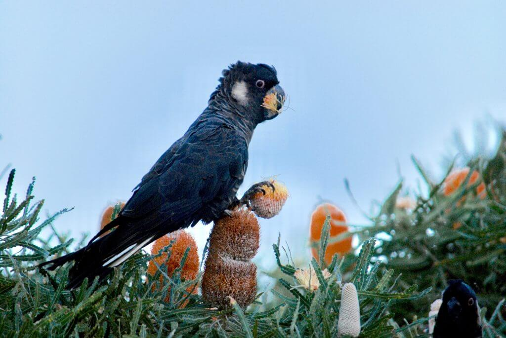 black cockatoo on Acorn (Banksia prionotes)