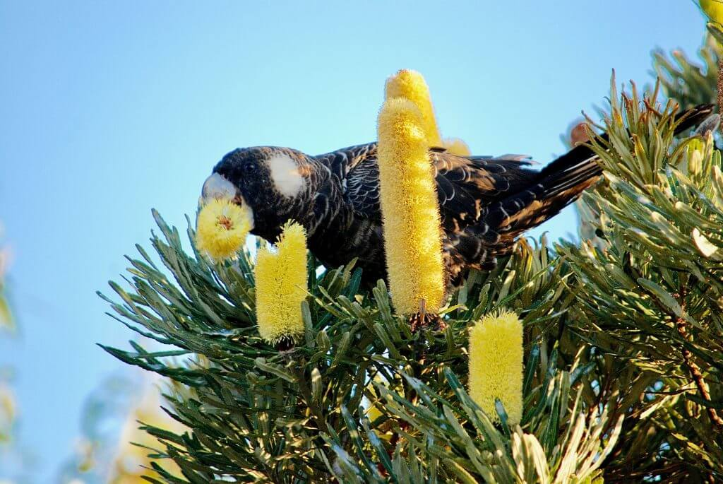 black cockatoo on Banksia