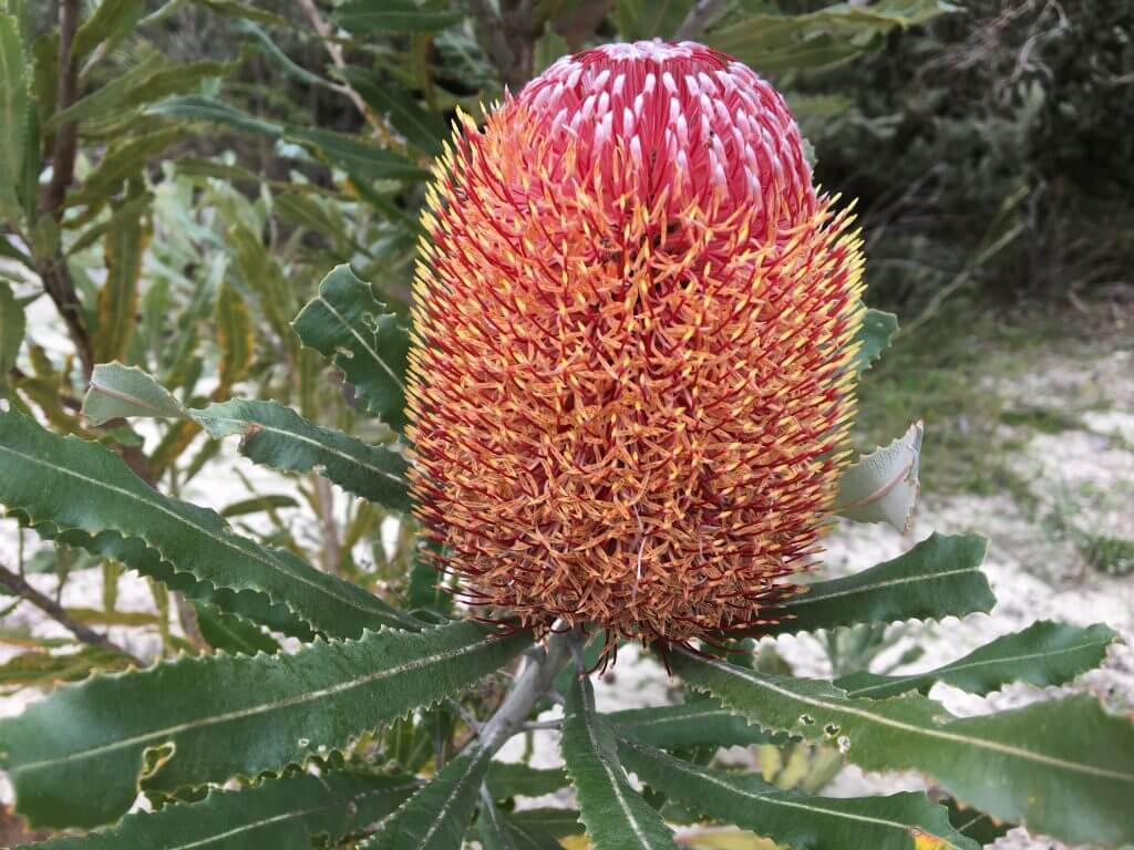 The Consumption Of Banksia Nectar In Traditional Noongar Society