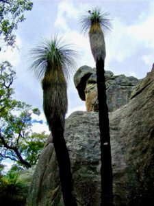 Two Kingia australis standing sentinel to the Owlstone 2009. Barb Dobson jpg