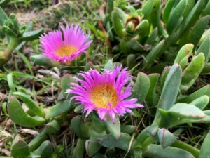 Carpobrotus viriscens